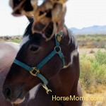 Tawny O'Hara This Domino a rescued wildhorse