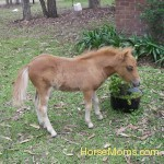 Chris Ahearn My Mini Foal Dudley,who was born weighing ten kgs.I love him more than Life.