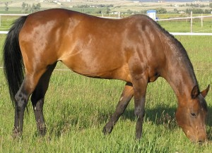 horse eating in pasture