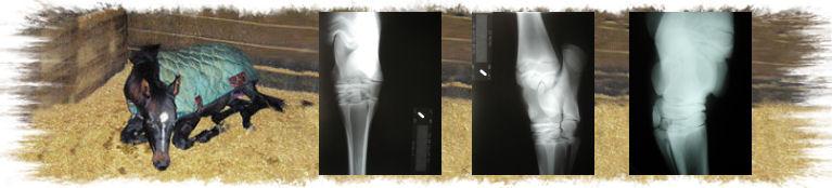 Horse legs bone issues